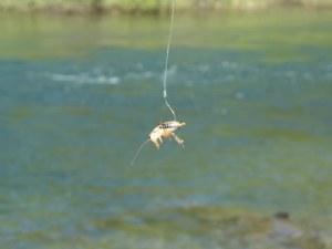 fishing crickets